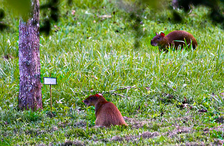 the best time to spot agoutis