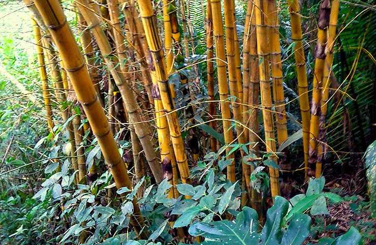 """This bamboo is of the local """"volunteer"""" variety"""