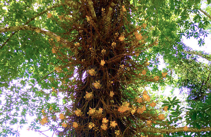 Flowering Cannonball-tree