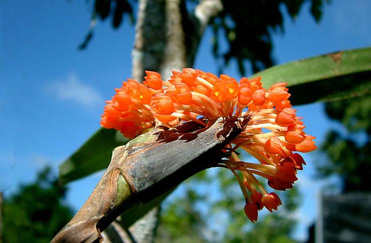 Maxillaria-fulgens (Orchid)