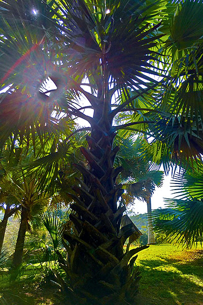 Bay- leaf palm - For roof thatching