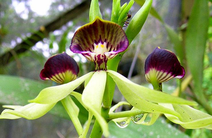 Black Orchid - National Flower of Belize
