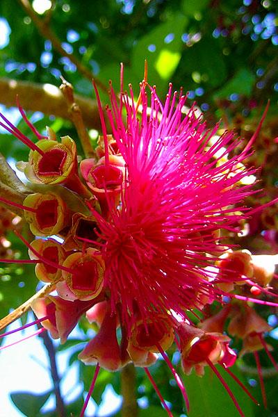 Belize Botanic Gardens Panama Flame in bloom