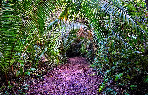 Cohune Palms mark the way