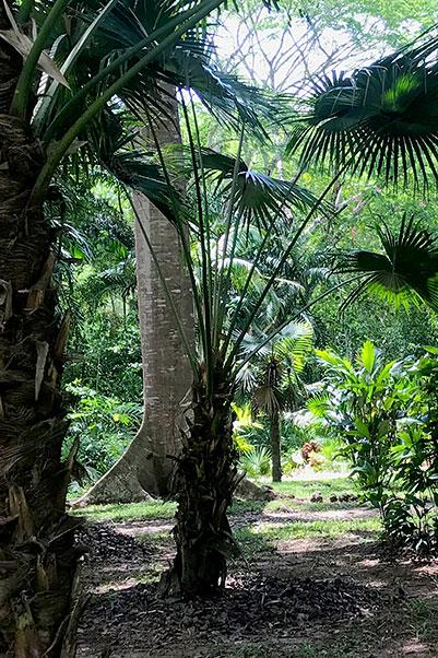 Bay Leaf Palm - Palm-area